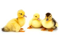 Three little duckling Royalty Free Stock Image