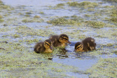 Three Little Ducklings. A group of three little mallard duckling feeding at a pond Royalty Free Stock Images