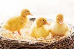 Three little ducklings in a nest, isolated image Stock Photos