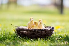 Three little ducklings in a nest, outdoors image in the park Royalty Free Stock Photos