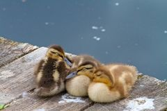 Three Little Ducklings Sleeping Together on a Lake Dock. Adorable baby ducks sleeping together Royalty Free Stock Images
