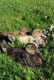 Three Little Ducklings Sunning on the Grass royalty free stock image