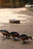 Three little ducks Stock Photo