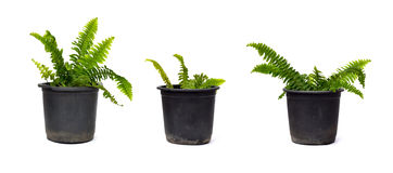 Three little ferns Stock Photos