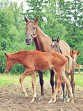 Three little foals with mom. Royalty Free Stock Photos