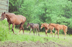 Three little foals with mom Royalty Free Stock Photos