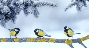 Three little funny bright beautiful bird Tits sitting under fir branches in winter new year Park