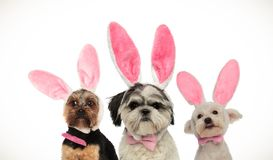 Three little funny dogs wearing easter bunny ears. On white background royalty free stock photo