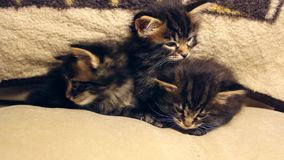 Three little funny kittens play stock video footage