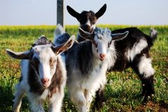 Three little goats, kids Royalty Free Stock Photo