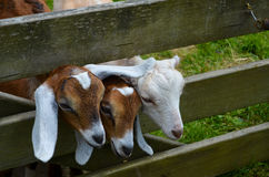 Three little goats looking through fence Royalty Free Stock Images