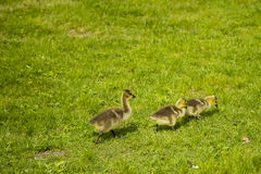 Three Little Goslings Exploring the Grass Royalty Free Stock Photos