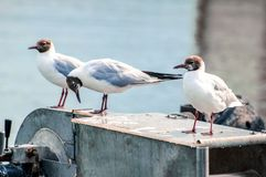 Three meditative seagulls on a piece of metal machinery at the sea royalty free stock images