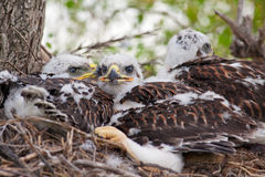 Three Little Hawks Stock Image