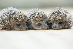 Three little Hedgehog portrait Royalty Free Stock Photos