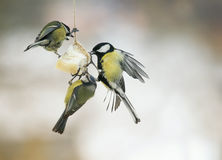 Three little hungry birds Tits on the bird feeder eating fat Stock Images