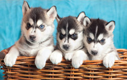 Three puppies Husky Stock Photos