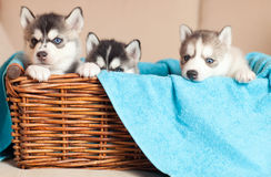 Three puppies Husky Stock Photography