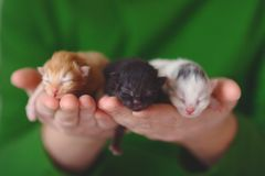Three little Kitten a few days old on the hands. Three little Kitten white red and black a few days old on the hands Stock Photos