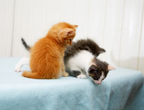 Three little kitten looking down Royalty Free Stock Photos