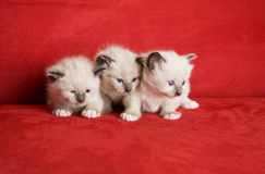 Three Little Kittens. In a row.  Snowshoe Lynx Point Siamese kittens at 3 weeks old Royalty Free Stock Image