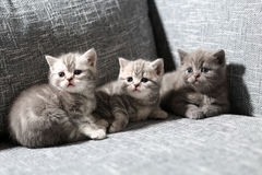 Three little kittens on an armchair Royalty Free Stock Image