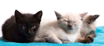 Three little kittens on a blue plaid, black and white Thai. White background, close-up royalty free stock photos