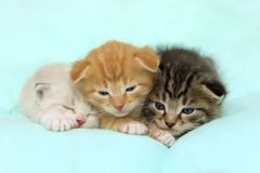 Three Little Kittens Over Blue Background. Three Cute Little Kittens Lying On The Bed. Three Little Kittens Over Blue Background Royalty Free Stock Image
