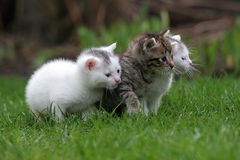 Three little kittens in a row Stock Image