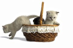 Three little kittens are sitting in a basket. Isolated on a whit royalty free stock image