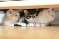 Three little kittens Stock Images