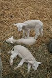 Three little lambs. Relaxing Stock Photo