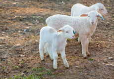 Three Little Lambs Royalty Free Stock Photography