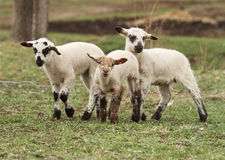 Three little lambs. Cute little lambs in a pasture royalty free stock photography