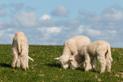 Three little lambs grazing Royalty Free Stock Photography