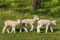 Three little lambs grazing on meadow Royalty Free Stock Photography