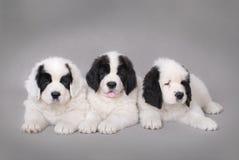 Three Little Landseer puppies portrait Royalty Free Stock Photo