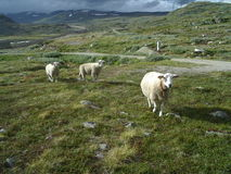 Three Little Lost Sheeps. On big green pasture in background narrow mountains path Stock Photo