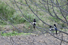 Three little magpie standing on the branch. Stock Photography