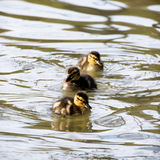 Three little mallard ducklings. In the water Stock Photos