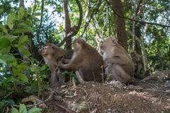 Three little monkeys in the jungle in Thailand Royalty Free Stock Image
