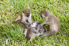 Three little monkeys playing in the grass Royalty Free Stock Images