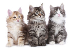 Three little norwegian forest kitten sitting Royalty Free Stock Photography