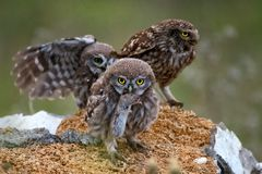 Three little owls stand on the rock. One owl holding in its beak a mouse Royalty Free Stock Photo