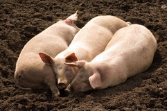 Three Little Piggies. Three young pigs snuggled up together, lying in the sun Royalty Free Stock Image