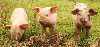 Three little piglets royalty free stock photography