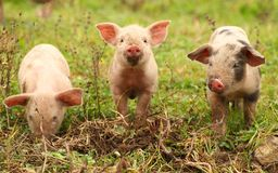 Three little piglets royalty free stock photo