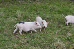 Three little piglets in a pen. Three little pigs frolic in the feedlot and suddenly noticed one camera Stock Photos