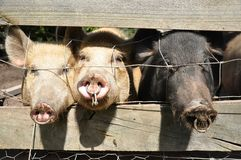 Three little pigs. Three pigs (swine) in a holding pen looking out at the world Stock Photos