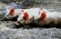 Three little pigs. Piglets rolling in the mud Royalty Free Stock Photography